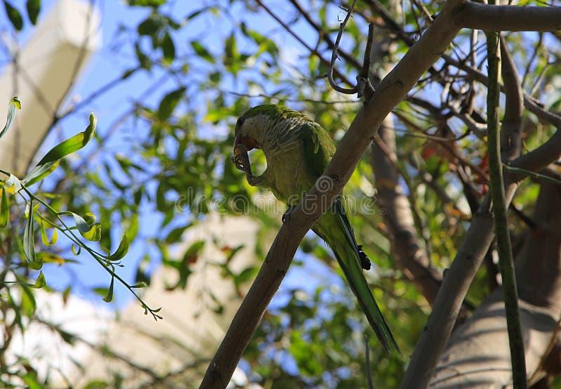 Um periquito verde sentado em um galho comendo comida foto de stock