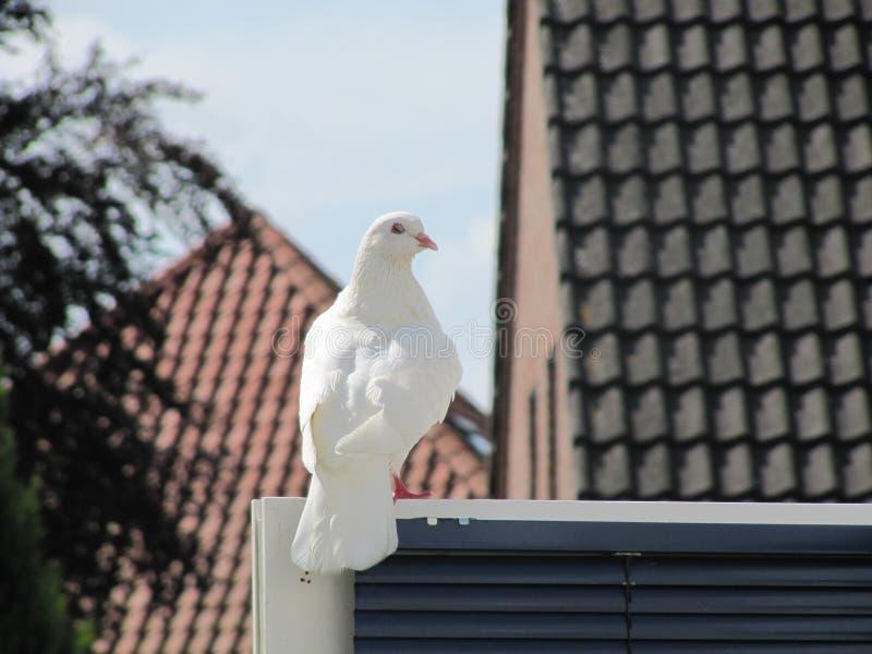 Um pidgeon branco enorme escapou dentro de um casamento foto de stock royalty free
