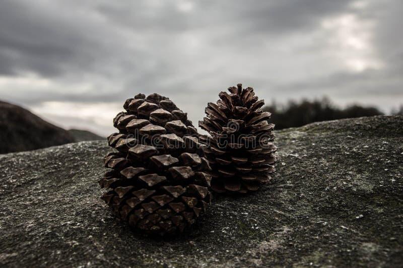 Um pinecone em uma rocha fotos de stock