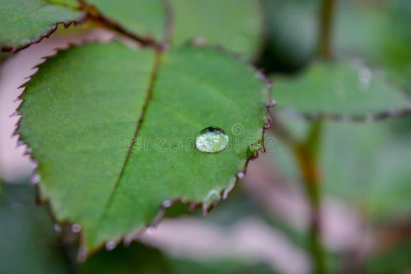 Um pingo de chuva em Rose Leaf And Selective Focus na gota da água foto de stock royalty free