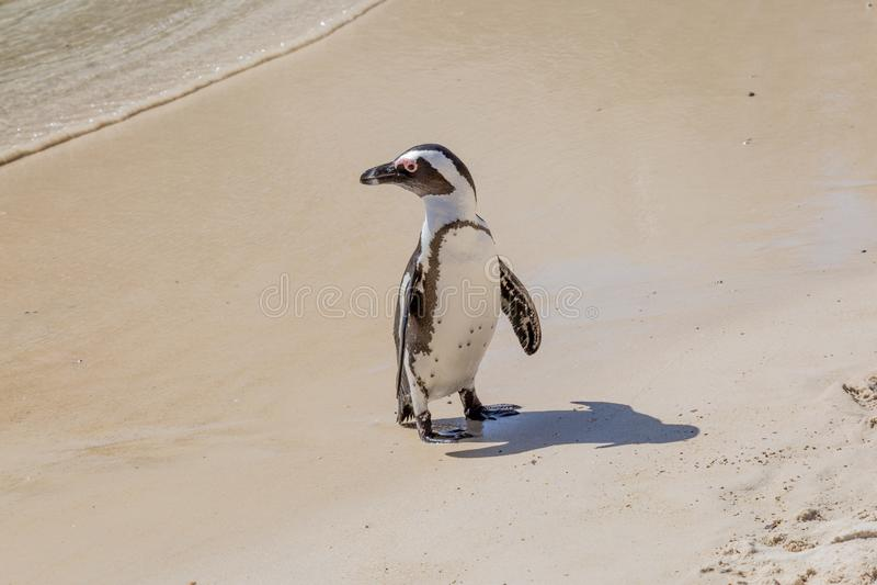 Um pinguim africano foto de stock royalty free