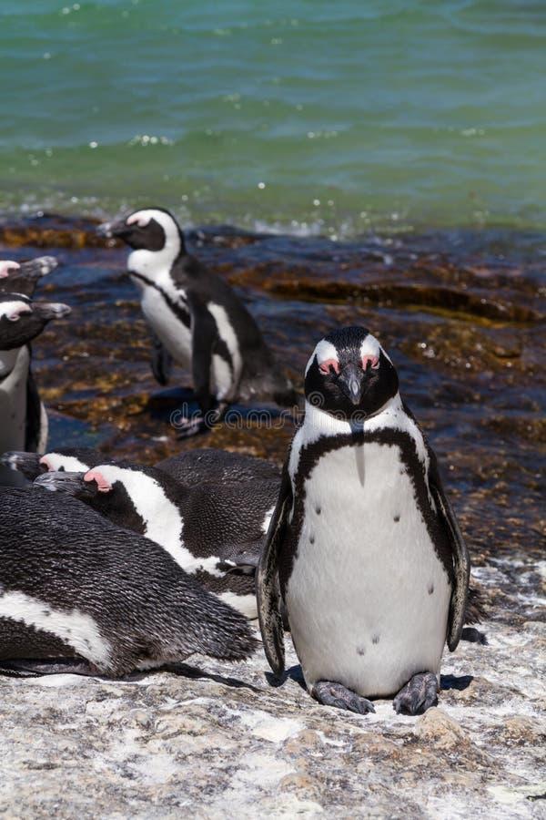Um pinguim africano foto de stock