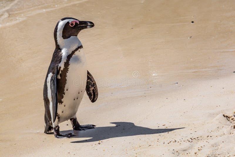 Um pinguim africano na praia fotografia de stock