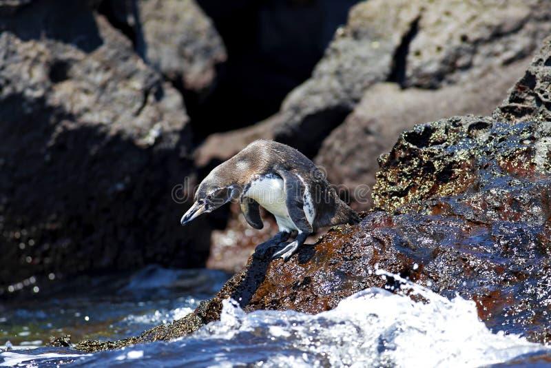 Um pinguim de Galápagos imagens de stock royalty free