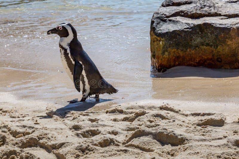 Um pinguim de Jackass imagem de stock