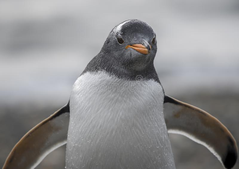Um pinguim de Magellanic no Chile do sul imagem de stock royalty free