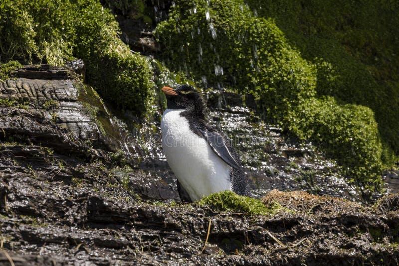 Um pinguim de Rockhopper na ilha de Saunders toma um chuveiro sob uma cachoeira, Falkland Islands imagem de stock