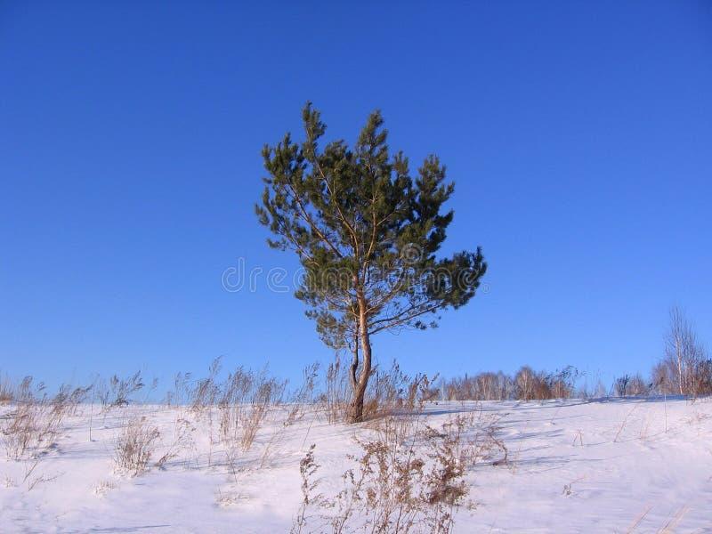 Um pinheiro em um campo no inverno entre montes de neve em Sibéria fotografia de stock