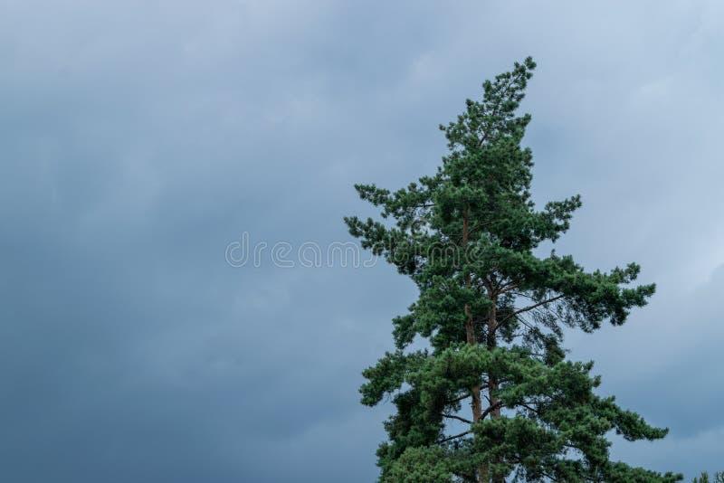 Um pinheiro verde abaixo de um céu azul foto de stock