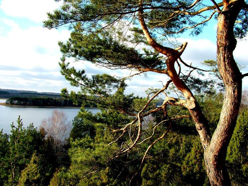 Download Um pinho velho 1 foto de stock. Imagem de paisagem, marrom - 70528