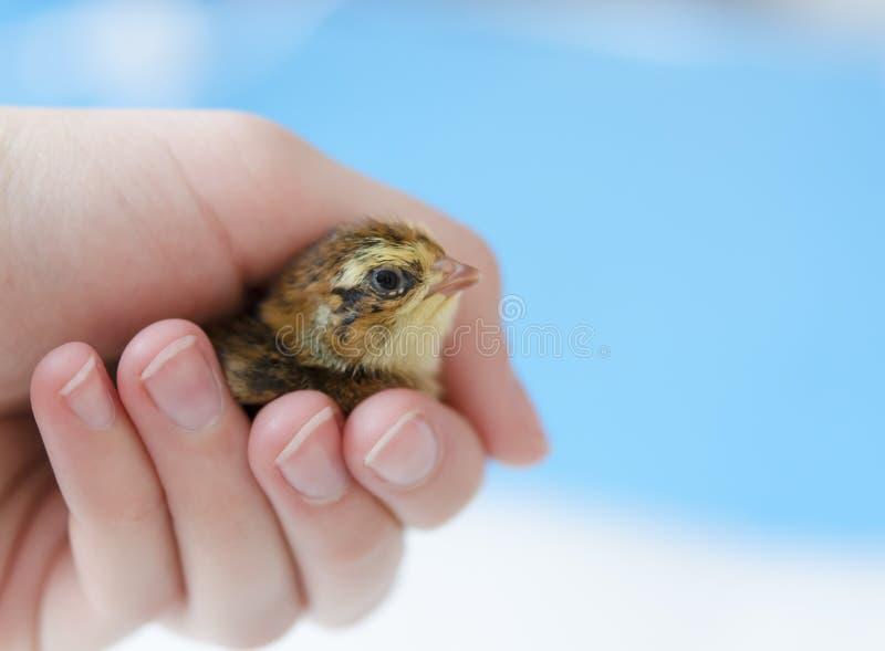 Um pintainho manchado pequeno das codorniz em sua mão em um fundo azul Co fotografia de stock royalty free