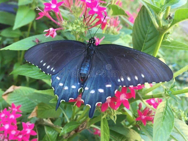 Um Pipevine Swallowtail ilumina-se em uma flor dos pentas fotos de stock royalty free
