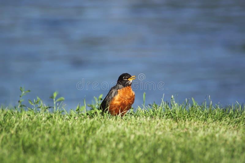 Um pisco de peito vermelho no riverbank fotografia de stock