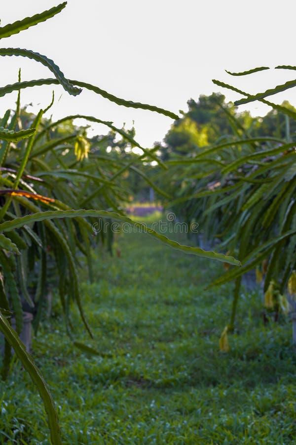 Um pitaya ou um pitahaya, o fruto de diversas espécies diferentes do cacto nativas aos Americas, o fruto do dragão são cultivados foto de stock