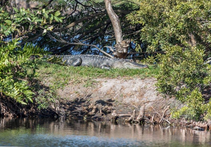 Um poço camuflou o jacaré americano em Florida que expõe-se ao sol em um berm nos marismas, Florida foto de stock royalty free