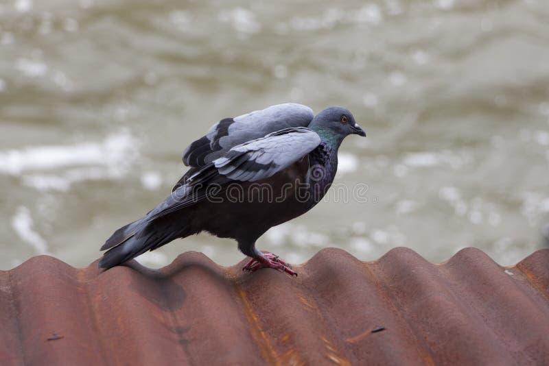 Um pombo cinzento espalha suas asas no telhado ondulado oxidado do metal imagem de stock