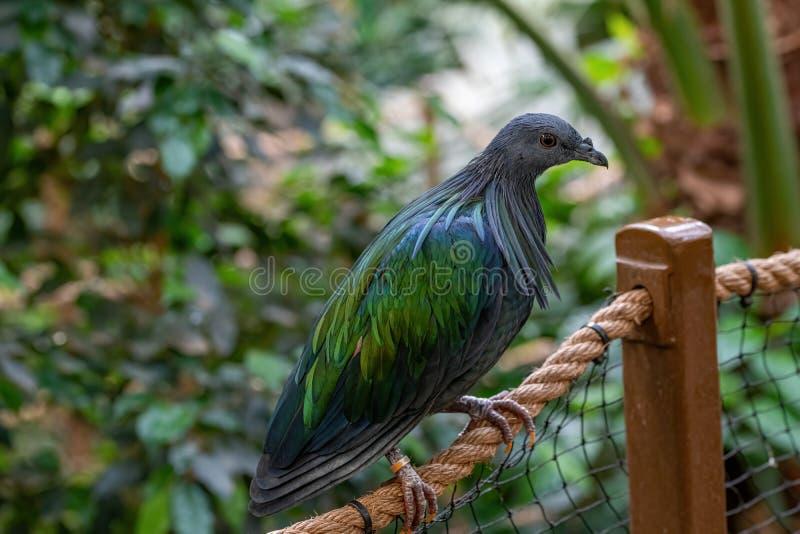 Um pombo de Nicobar, nicobarica de Caloenas da ilha de Nicobar foto de stock