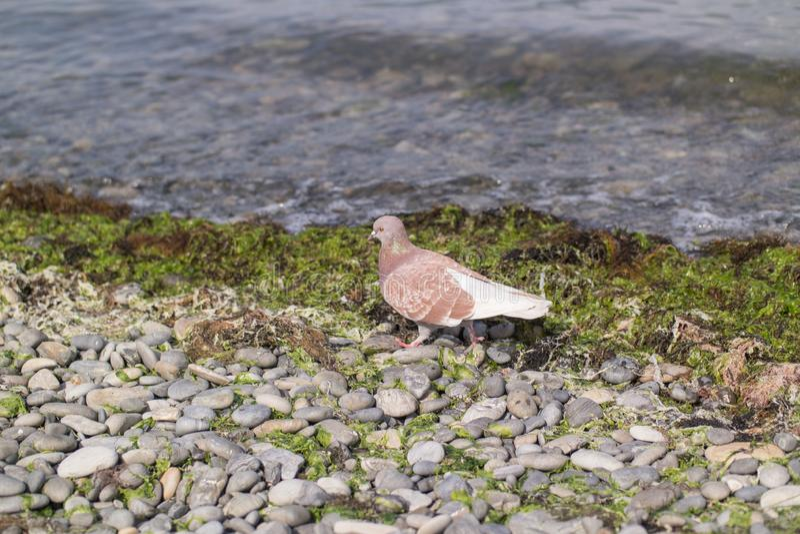 Um pombo do marrom pisa em um banco da telha perto do beira-mar foto de stock