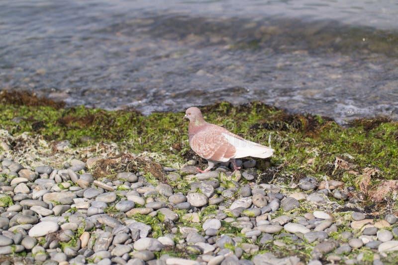 Um pombo do marrom pisa em um banco da telha perto do beira-mar imagem de stock