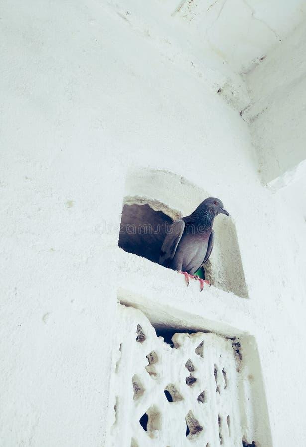 Um pombo doméstico em uma janela pequena imagem de stock