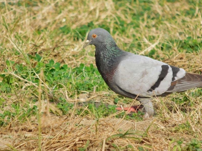 Um pombo em um campo imagem de stock