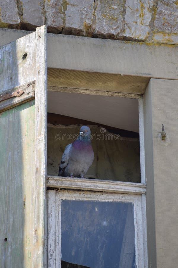 Um pombo em uma janela fotos de stock royalty free