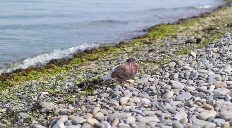 Um pombo marrom senta-se em um Pebble Beach perto do beira-mar fotografia de stock royalty free