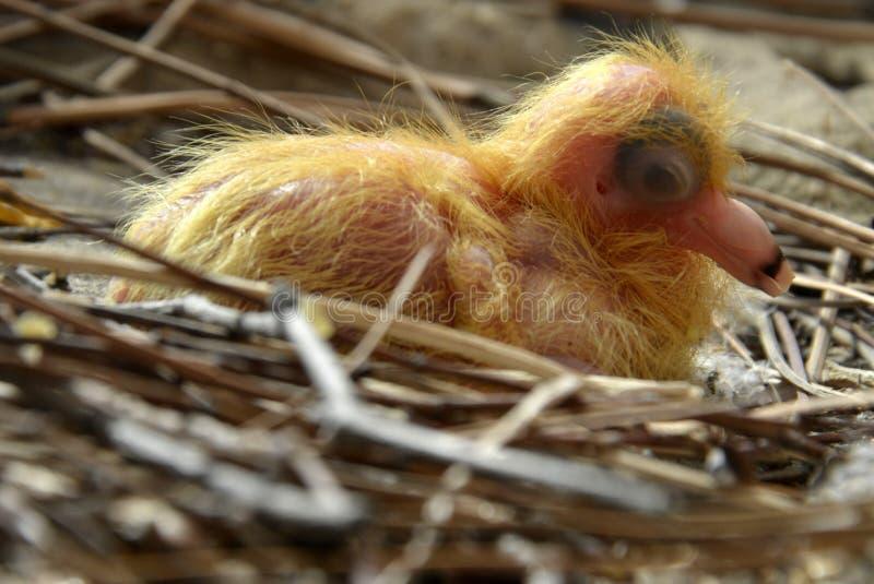 Um pombo novo, confiante no ninho fotos de stock royalty free