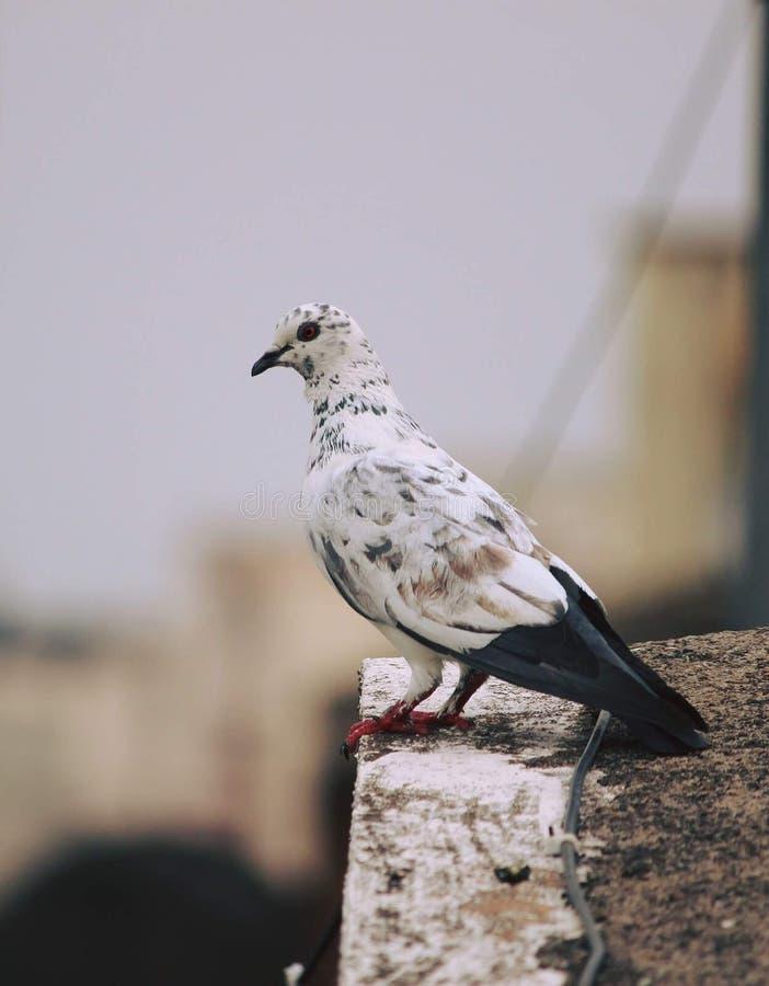 Um pombo que espia no mundo com seus olhos pequenos contudo bonitos imagens de stock