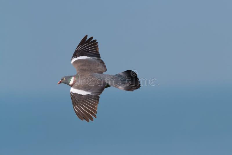 Um pombo torcaz adulto imagens de stock