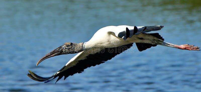 Um ponto baixo do voo da cegonha de madeira a uma lagoa imagem de stock royalty free