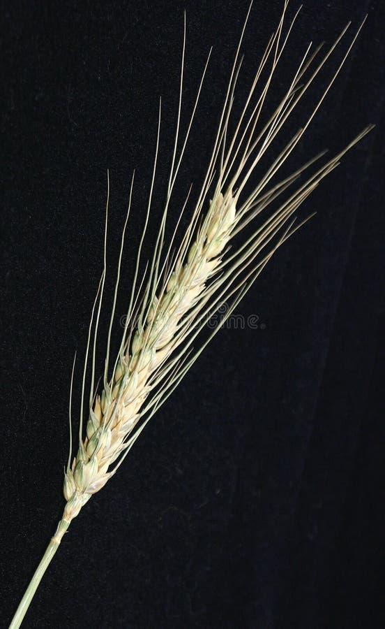 Um ponto do trigo imagens de stock