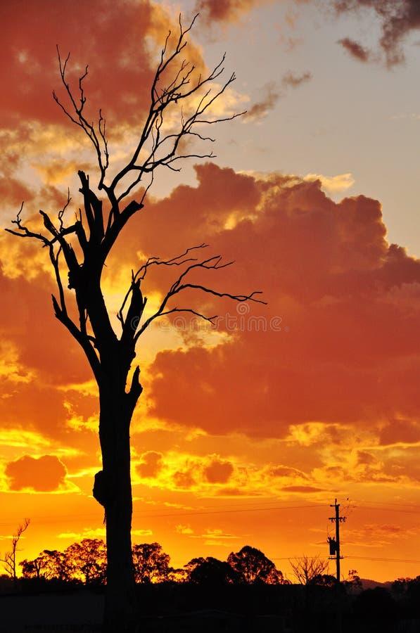 Um por do sol inoperante velho grande do Australian do interior da árvore de goma imagens de stock
