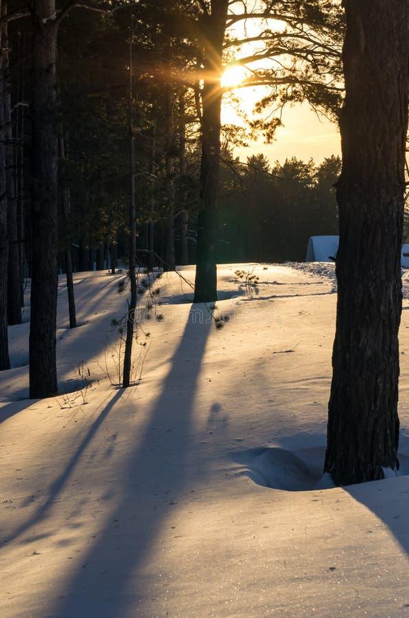 Um por do sol na floresta do pinho do inverno com sombras longas na neve profunda imagens de stock royalty free