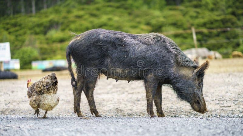 Um porco e uma galinha em Nova Zelândia imagem de stock