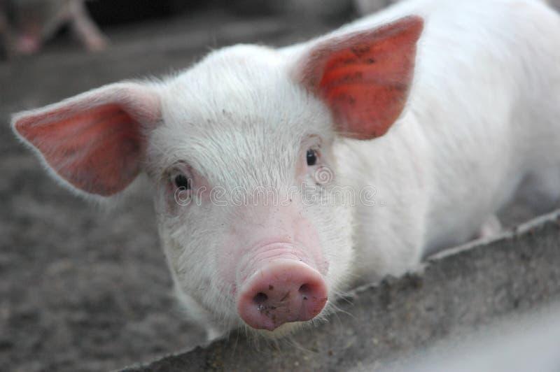 Um porco pedindo fotografia de stock royalty free