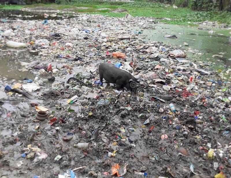 Um porco preto que procura pelo alimento no lixo perto da lagoa imagens de stock