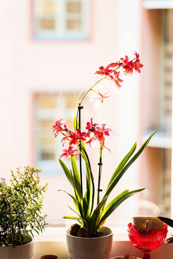 Um potenciômetro de orquídeas vermelhas na janela imagem de stock
