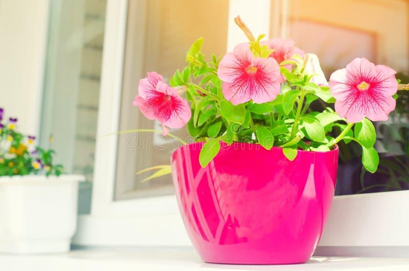 Um potenciômetro de petúnias cor-de-rosa está na janela, nas flores bonitas da mola e do verão para a casa, o jardim, o balcão ou fotografia de stock