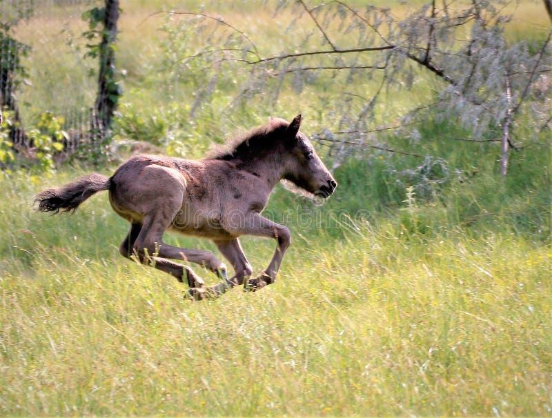um potro que corra playfully em um campo ensolarado foto de stock royalty free