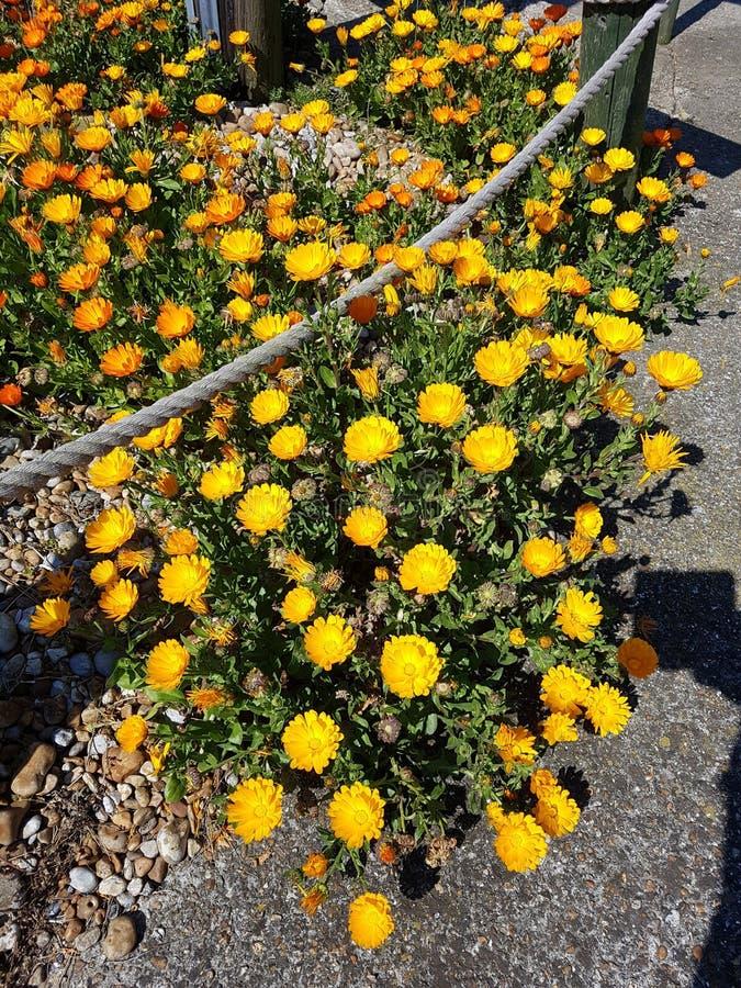 Um pouco mais de flores amarelas bonitas que sentam-se no jardim fotografia de stock
