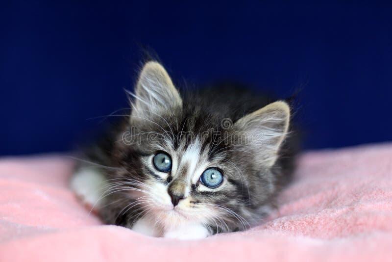 Um preto e branco cinzento do gato malhado norueguês pequeno do gatinho na posição de encontro com os olhos a ascendente sobre o  imagem de stock royalty free