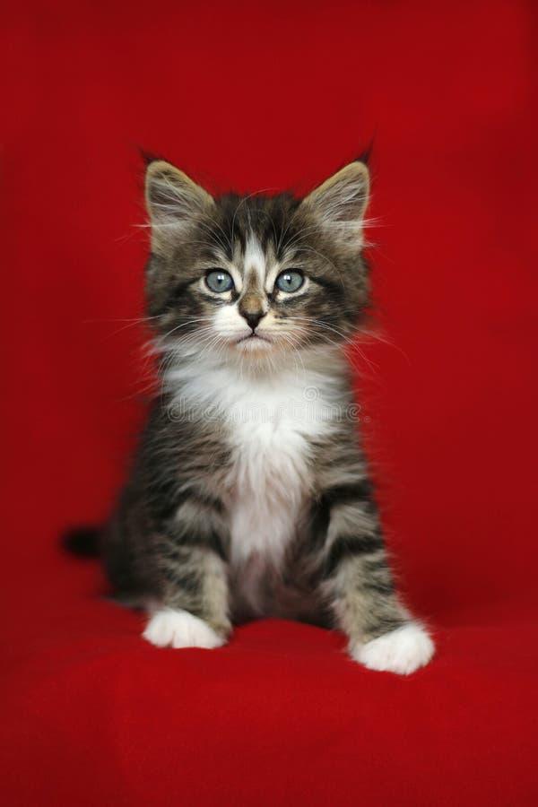 Um preto e branco cinzento do gato malhado norueguês pequeno do gatinho na posição do assento com olhar para baixo sobre um fundo fotografia de stock