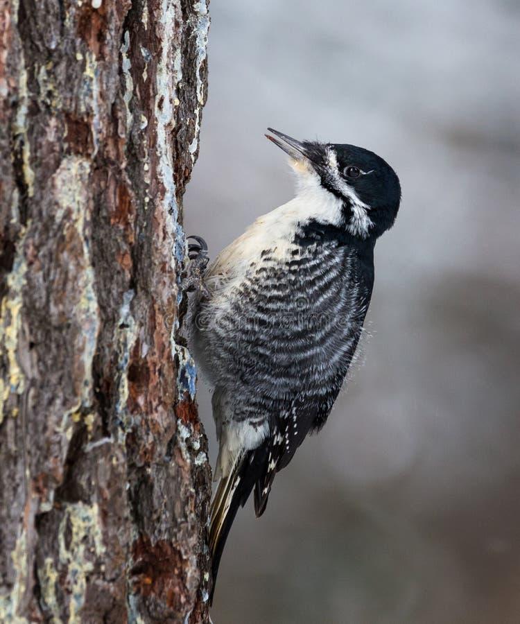 Um preto suportou Wodpecker que come de uma árvore imagens de stock