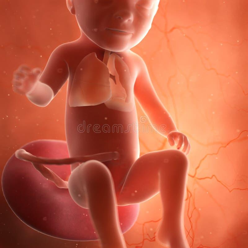 Um pulmão do feto ilustração stock