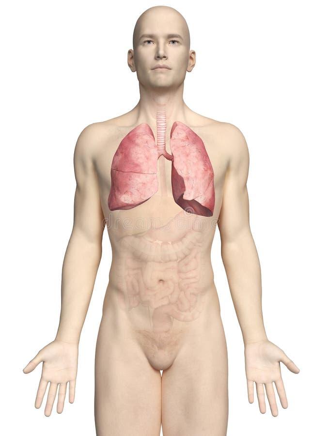 Um pulmão dos maleilustração do vetor