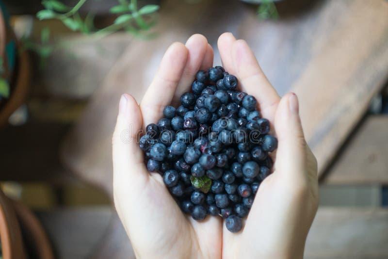 Um punhado de mirtilos maduros uva-do-monte, mirtilo, blaeberry, mirtilo nas mãos de uma jovem mulher ou menina da floresta imagem de stock