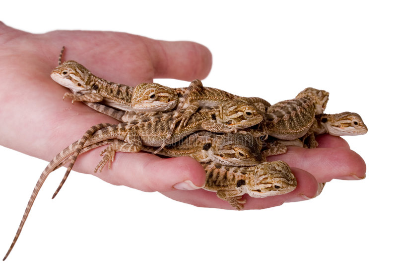 Um punhado dos lagartos foto de stock royalty free