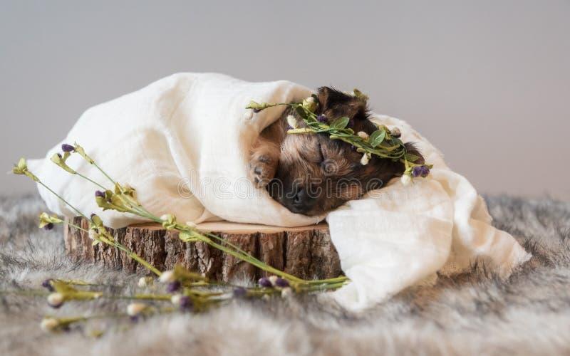 Um Puppy Pampered foto de stock