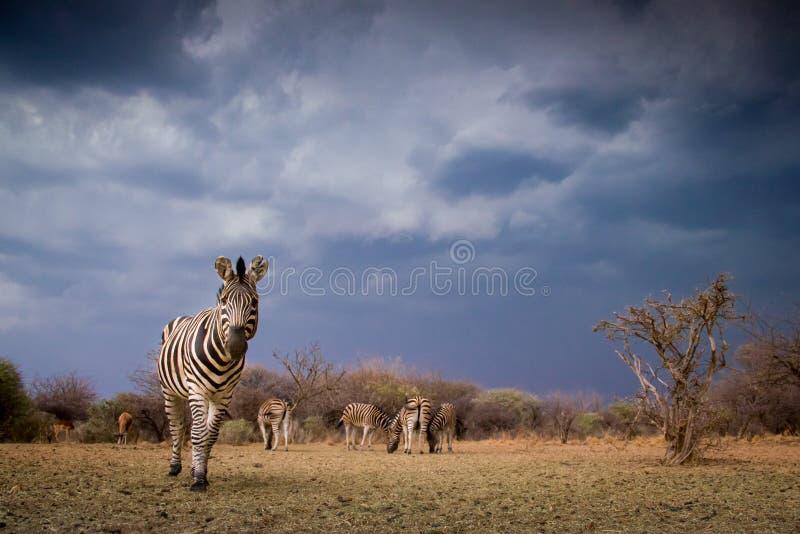 Um quagga do equus da zebra que olha a câmera fotos de stock royalty free